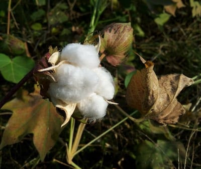 Cotton ball on plant